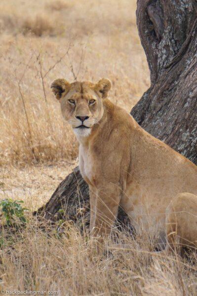 lion Serengeti budget safari