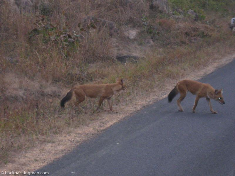 wild dogs kanha tiger reserve