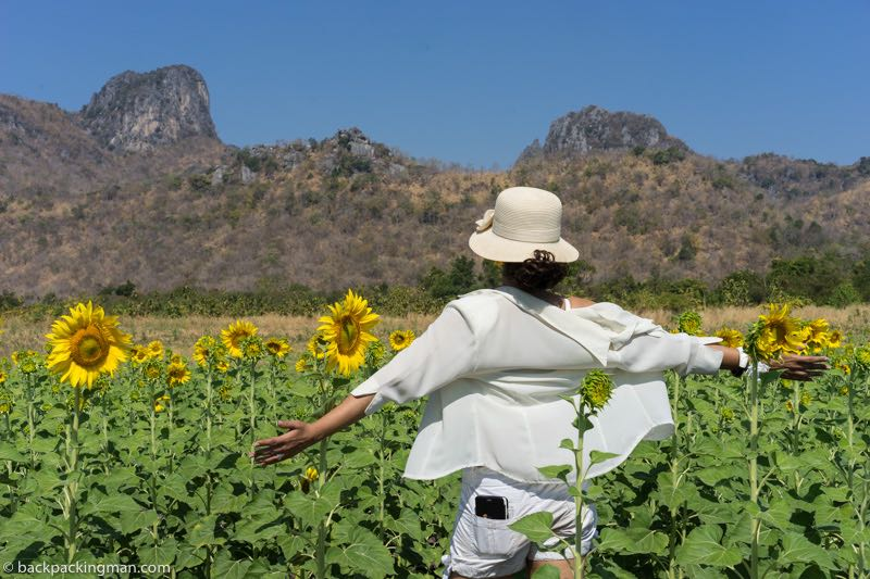 lopburi sunflowers
