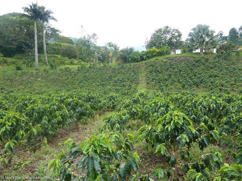 Coffee In The Mountain Hacienda Venecia In Columbia