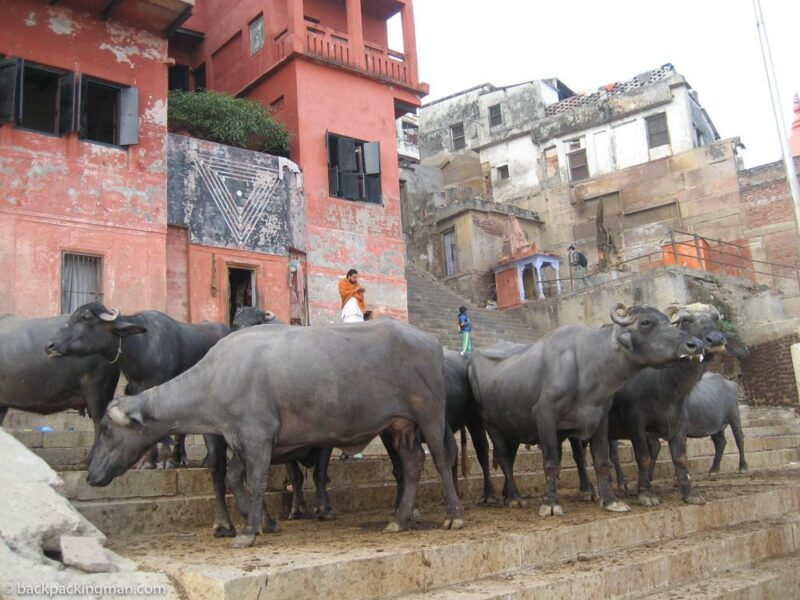 holy cows india