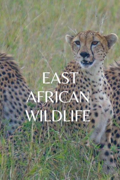 East African Wildlife cheetah
