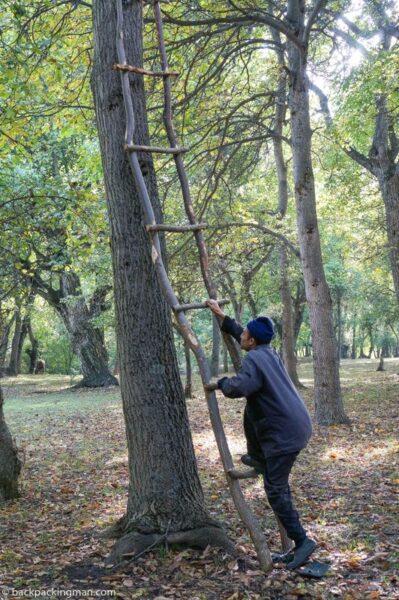 walnut harvest Kyrgyzstan