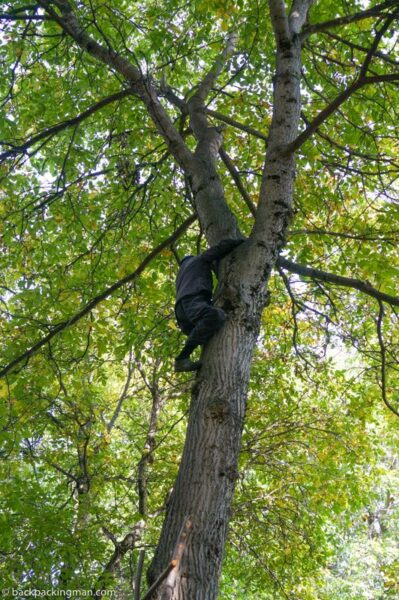 climbing a walnut tree