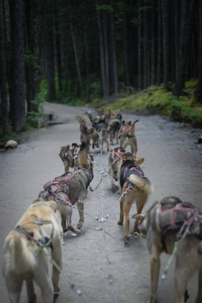 Dog sledding in Anchorage in the forest
